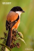 long-tailed shrike at Kaziranga National Park