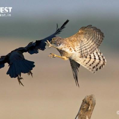 kestral attacking crow at velavadar national park