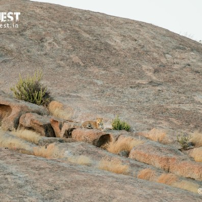 Leopard in bera rajathan safari