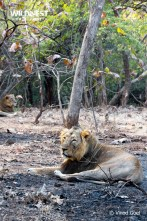 lions relaxing at gir national park