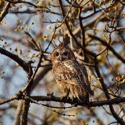 owl at nagzira wildlife sanctuary