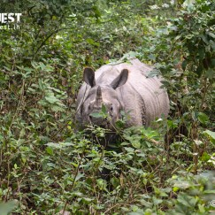 rhinoceros at dudhwa national park