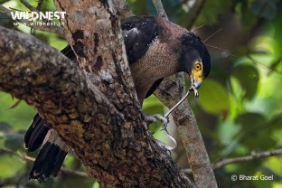 serpent eagle eating snake at dudhwa national park