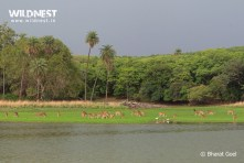 spotted deer group at ranthambore national park