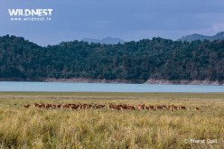 spotted deer herd at corbett tiger reserve