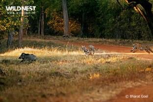 tiger attacking boar at tadoba andhari tiger reserve