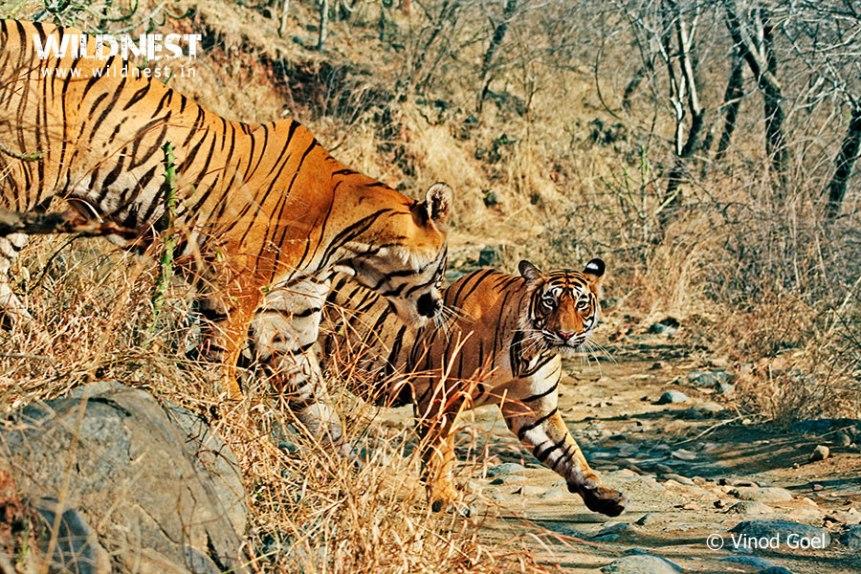 Tiger Courtship at Ranthambore National Park