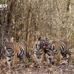 tiger cubs playing at tadoba andhari tiger reserve
