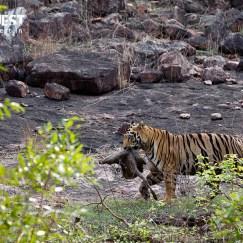 tiger eating prey at tadoba andhari tiger reserve