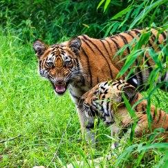 tiger growling at Tadoba in Monsoons