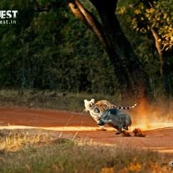 tiger killing boar at tadoba andhari tiger reserve