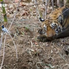 tiger sleeping at tadoba andhari tiger reserve