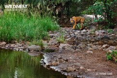 tiger soaming water at ranthambore national park