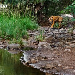 tiger soaming water at ranthambore national park