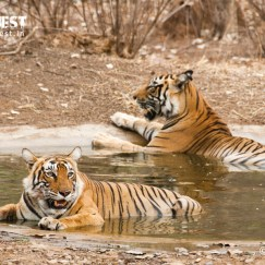 tigers relaxing at ranthambore national park
