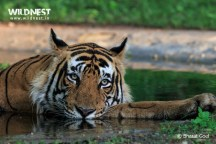 Tiger in waterhole at Ranthambore National Park