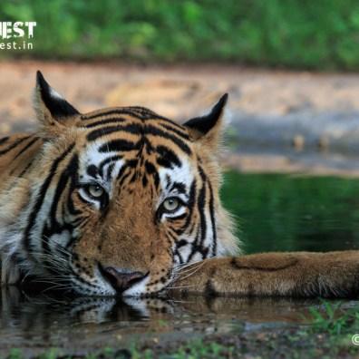 Tiger in waterhole at Ranthambore National Park