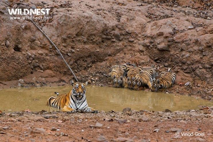 tiger with cubs at tadoba by vinod goel