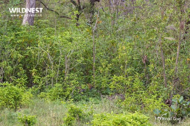 leopard-rajaji-vinod-goel.jpg?resize=742