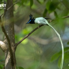 Asian Paradise Flycatcher at Tadoba Andhari Tiger Reserve