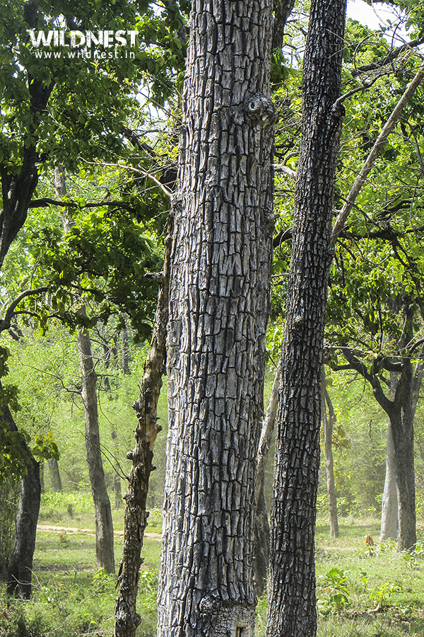 crocodile-bark-tree-tadoba