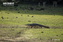 crocodile walking tadoba by vinod goel