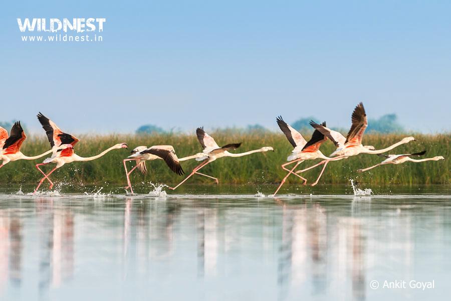 flamingos-lrk-flying