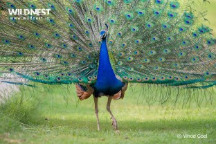 Peacock dancing at Delhi