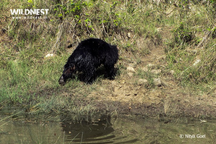 sloth-bear-tadoba-nitya