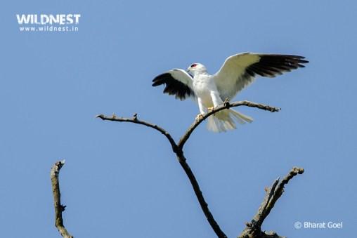 Black Shoulder Kite in fiight at Corbett Tiger Reserve