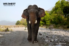 Elephant marching at Corbett Tiger Reserve