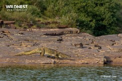 Crocodile going under water at Panna National Park