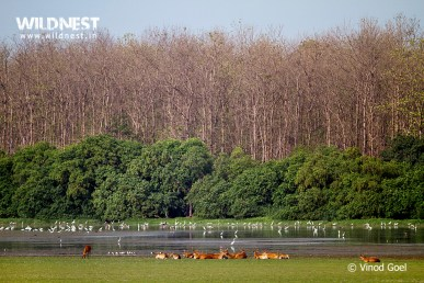 Deer with Birds in Habitat at Dudhwa National Park