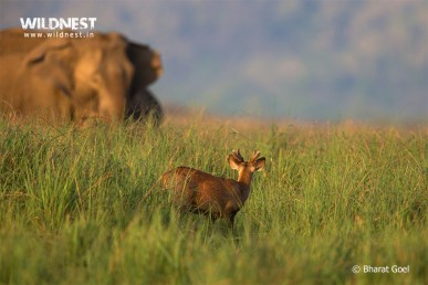 Deer with Elephant at Corbett Tiger Reserve