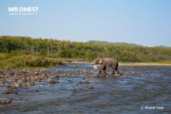 Elephant walking in water at Corbett Tiger Reserve