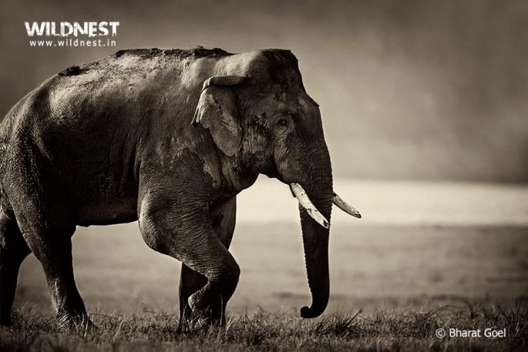 elephant-corbett-india-bharat
