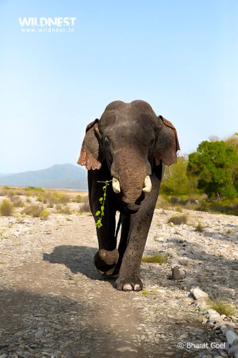 Elephant marching at Corbett Tiger Reserve