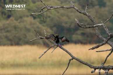 Indian Darter in habitat at Ranthambore National Park