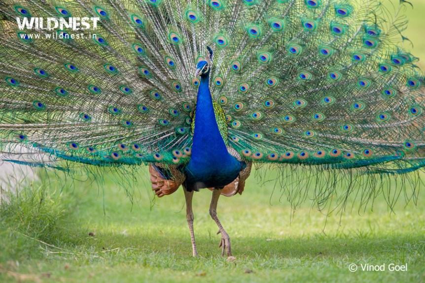 Peacock displaying at delhi