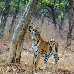 Tiger smelling at Tadoba Andhari Tiger Reserve
