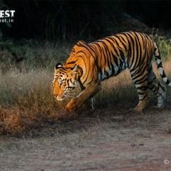 Tiger hunting in the morning at Tadoba Andhari Tiger Reserve