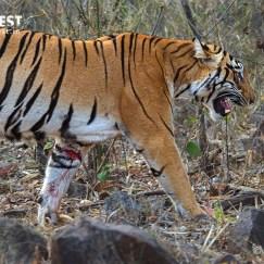 Tiger Photography at Tadoba Andhari Tiger Reserve