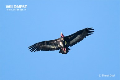 Vulture in flight at Corbett National Park