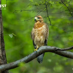 White Eyed Buzzard at Sariska Tiger Reserve