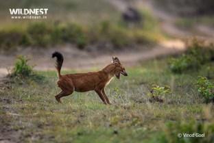 Wild Dog at Tadoba Andhari Tiger Reserve