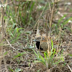 Yellow Legged Button Quail at Sariska Tiger Reserve