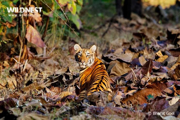 endangered animals in Indian wildlife tiger