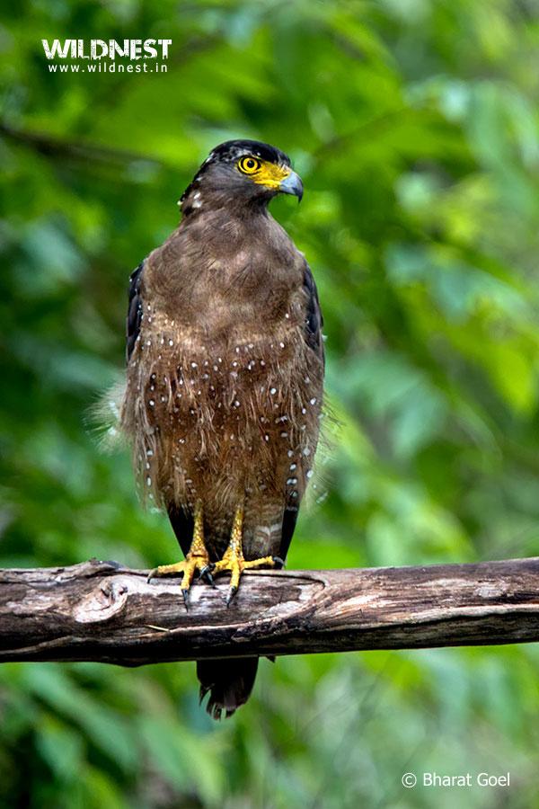Tadoba Trip Report - Crested Serpant Eagle- Tadoba