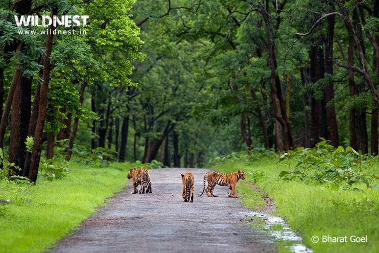 Tadoba Trip Report - tiger-cubs-habitat-tadoba