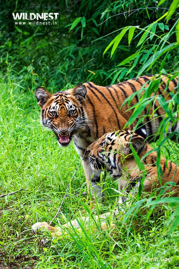 Tadoba Trip Report - tiger-growling-tadoba